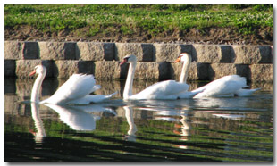 Swans Enjoying the Lake at Tri-Township Park in Troy, Illinois, IL